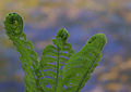 Ferns unfolding - 1 (2486172210).jpg