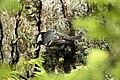 Ferreiriño negro 05.jpg