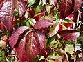 Feuilles rouges d'automne.JPG