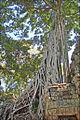 "Ficus ""étrangleur"" dans le temple Ta Prohm (Angkor) (6990988789).jpg"