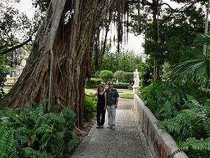 Ficus aurea - A Florida strangler fig with abundant adventitious roots at Villa Vizcaya, Miami