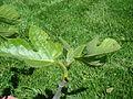 Ficus carica 'Celeste' +21days.jpg