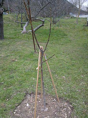 Ficus carica wikipedia for Pianta di fico prezzo