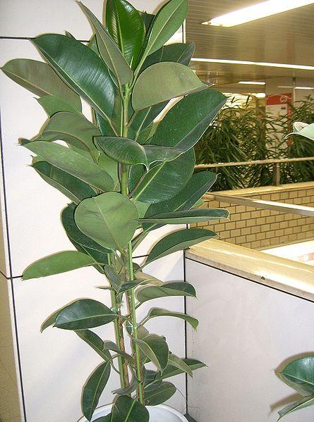 Montofenestro escaparate dise o y m s interiorismo - Ficus elastica cuidados ...