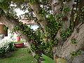 Ficus lutea 0007.jpg