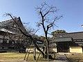 Ficus religiosa of Zendoji Temple.jpg