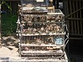 Finches overcrowded in cages, Pasty Market.jpg