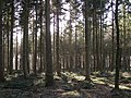 Fir plantation in Roe Inclosure, New Forest - geograph.org.uk - 328046.jpg