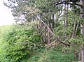 Fir trees adjacent to the former railway line - geograph.org.uk - 493981.jpg
