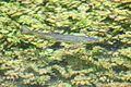 Fisch in der Anzinger Sempt.jpg