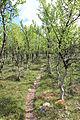 Fjellbjørkeskog - Norwegian mountain birch.jpg