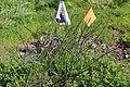Flags mark the location of thread-leaved brodiaea (33175150072).jpg