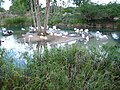Flamingos, Kilimanjaro Safaris.JPG