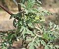 Flapneck Chameleon hide 22 08 2010.JPG