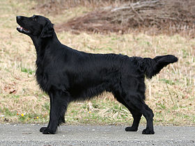 Flat-coated retriever de color negro