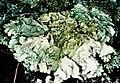Flavoparmelia baltimorensis-4.jpg
