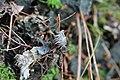 Flechte im Laurisilva von Madeira, Detail Scheinwurzeln.jpg