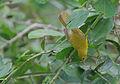 Flickr - Rainbirder - Little Yellow Flycatcher (Erythrocercus holochlorus).jpg