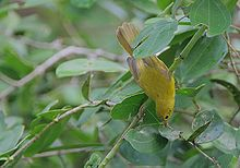 Flickr - Rainbirder - Little Yellow Flycatcher (Erythrocercus holochlorus).jpg