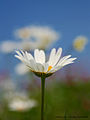 Flickr - law keven - Daisy, Daisy.....jpg