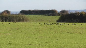 File:Flock of carrion crows (Corvus corone).webm