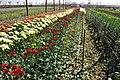 Flores Holambra.jpg