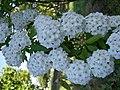 Flores de Noiva Flower of Fiancé (313370068).jpg