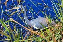 Florida Everglades-Tricolored Heron (15262778143).jpg