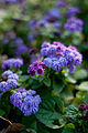 "Flower, Ageratum ""Blue Danube"" - Flickr - nekonomania.jpg"