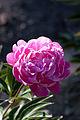 """Flower, Herbaceous peony """"Musou-En"""" - Flickr - nekonomania.jpg"""
