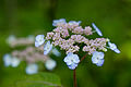 "Flower, Hydrangea ""Yae-Amacya"" - Flickr - nekonomania.jpg"