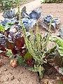 Flowering Chard, Villa Borg.jpg