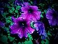 Flowers - Flickr - pinemikey.jpg