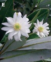 Flowers of Drimys granadensis