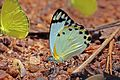 Forest caper white (Belenois theora theora) male.jpg