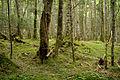 Forest in Yatsugatake 29.jpg