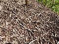 Fourmis rousses - Formica rufa - 001.JPG