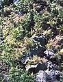 Fragile Screw Moss & Dog Lichen (3282421679).jpg