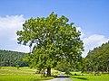 Fraxinus excelsior 002.jpg