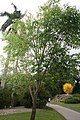 Fraxinus uhdei 3zz.jpg