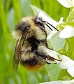 Frigid bumblebee.jpg
