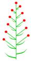 Frondobrakteose Beblätterung (inflorescence).PNG