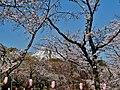 Fujinomiya Fuji-san Sakura 1.jpg