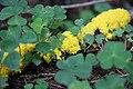 Physarum polycephalum im Wald südwestlich des Parkplatzes Irenkreuz, Landkreis Rhön-Grabfeld IV.jpg