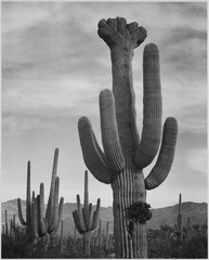 "Full view of cactus with others surrounding, ""Saguaros, Saguaro National Monument,"" Arizona. (Vertical Orientation), 193 - NARA - 519973.tif"