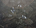 Fulmars on Burgh Island.jpg