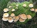 Fungi - geograph.org.uk - 250320.jpg