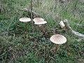 Fungi on Lullington Heath - geograph.org.uk - 1167257.jpg