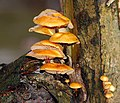 Fungus near Edenderry - geograph.org.uk - 654459.jpg