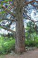 Furu 440 cm omkrets i brysthøyde ved Rambekk på Gjøvik 3.JPG